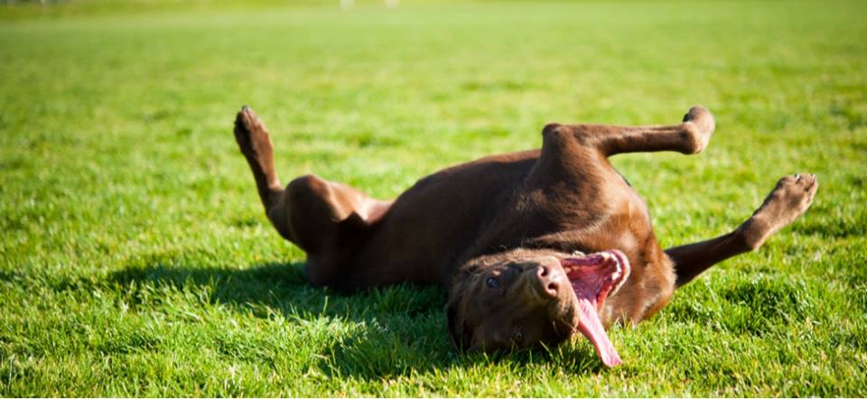 Happy Chocolate Lab