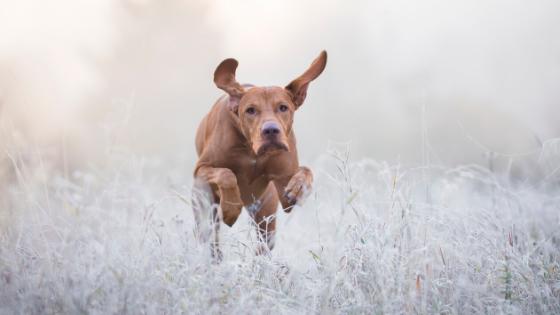 playful large dog bounding